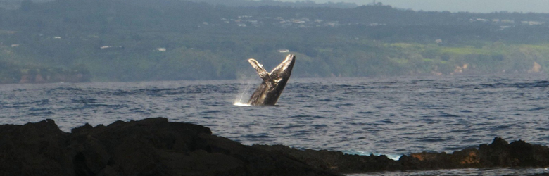 humpback whale breaching in the Monterey Bay