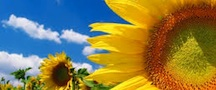 yellow sunflower, blue sky