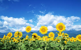 yellow sunflowers, blue sky